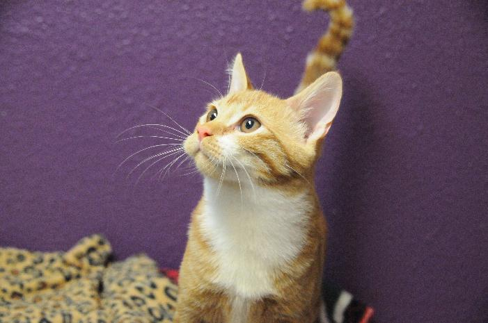 Scoop, an adoptable Tabby Mix in Jamestown, CA