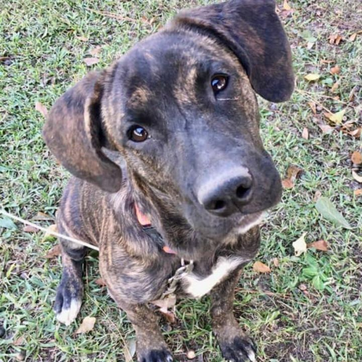 Pickles, an adoptable Boxer & Terrier Mix in Carencro, LA