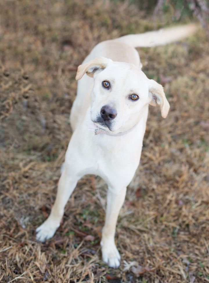 Molly, an adoptable Labrador Retriever Mix in Cape Girardeau, MO