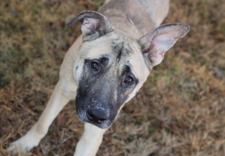 Sarge, an adoptable German Shepherd Dog Mix in Cape Girardeau, MO