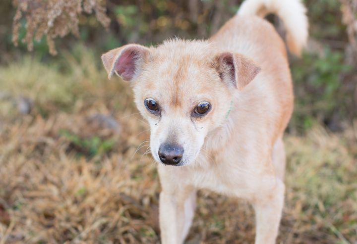 Vesper, an adoptable Chihuahua Mix in Cape Girardeau, MO