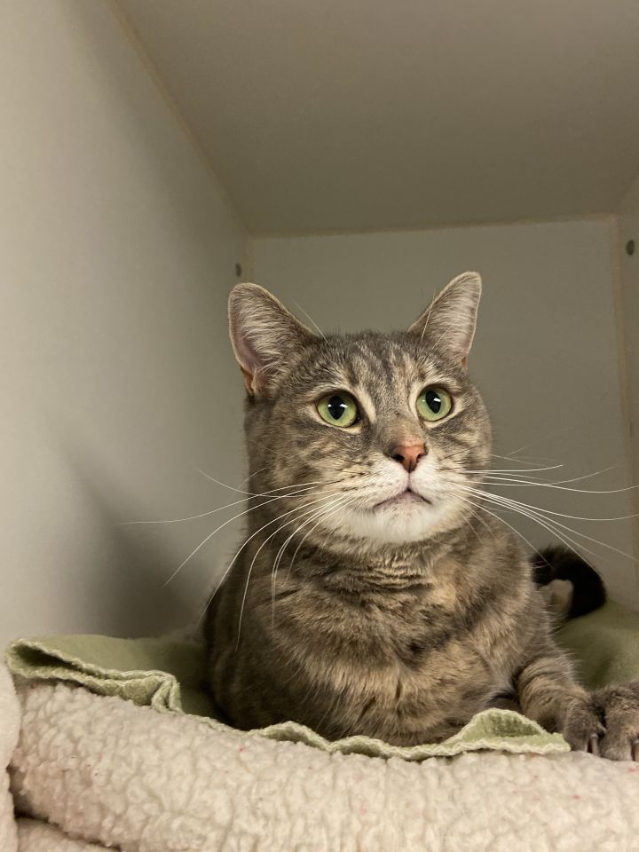 Bambi & Lacey, an adoptable Domestic Short Hair Mix in Bellingham, WA
