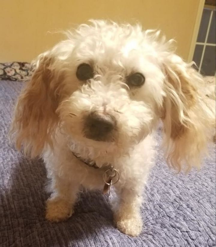 Millie 2, an adopted Cockapoo in Whitewater, WI