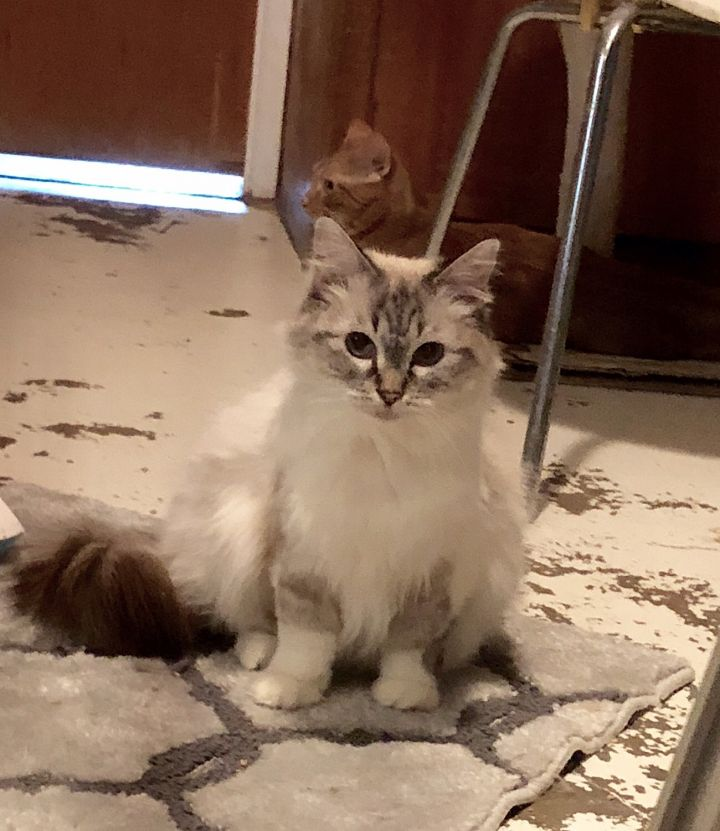 Sassy, an adopted Birman Mix in Mission Viejo, CA