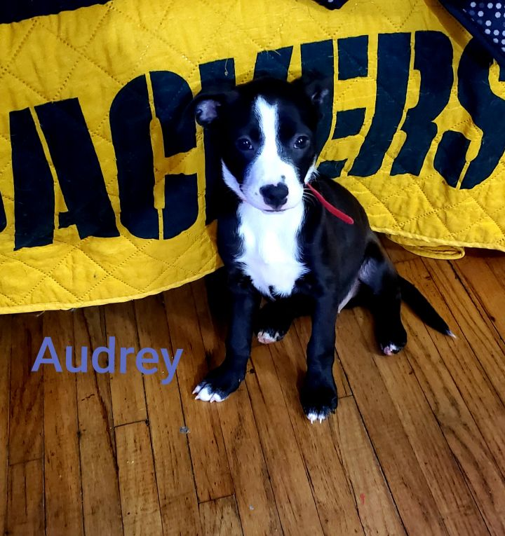 Audrey, an adopted Rat Terrier Mix in Alma, WI