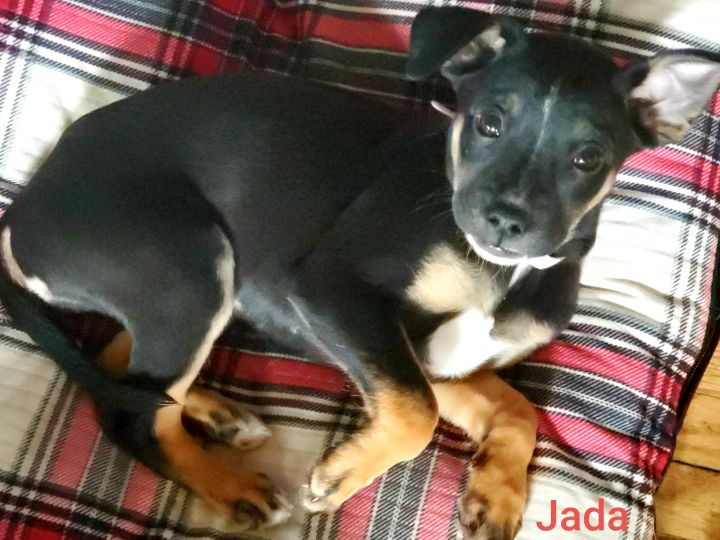 Jada, an adopted Rat Terrier Mix in Alma, WI