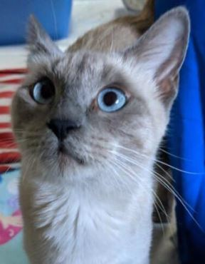 Polly, an adopted Siamese in Trophy Club, TX