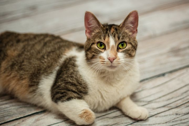 Shizuka, an adoptable Domestic Short Hair Mix in Appleton, WI