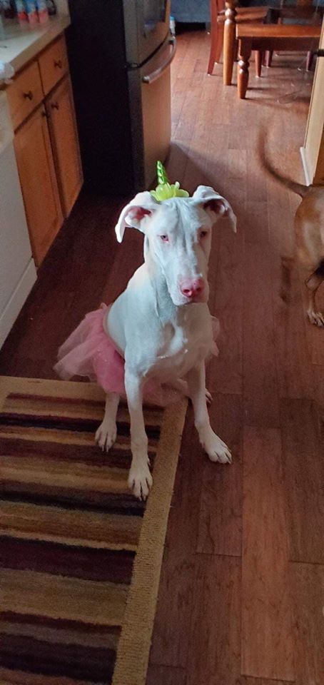 Daisy, an adoptable Great Dane in Troy, VA