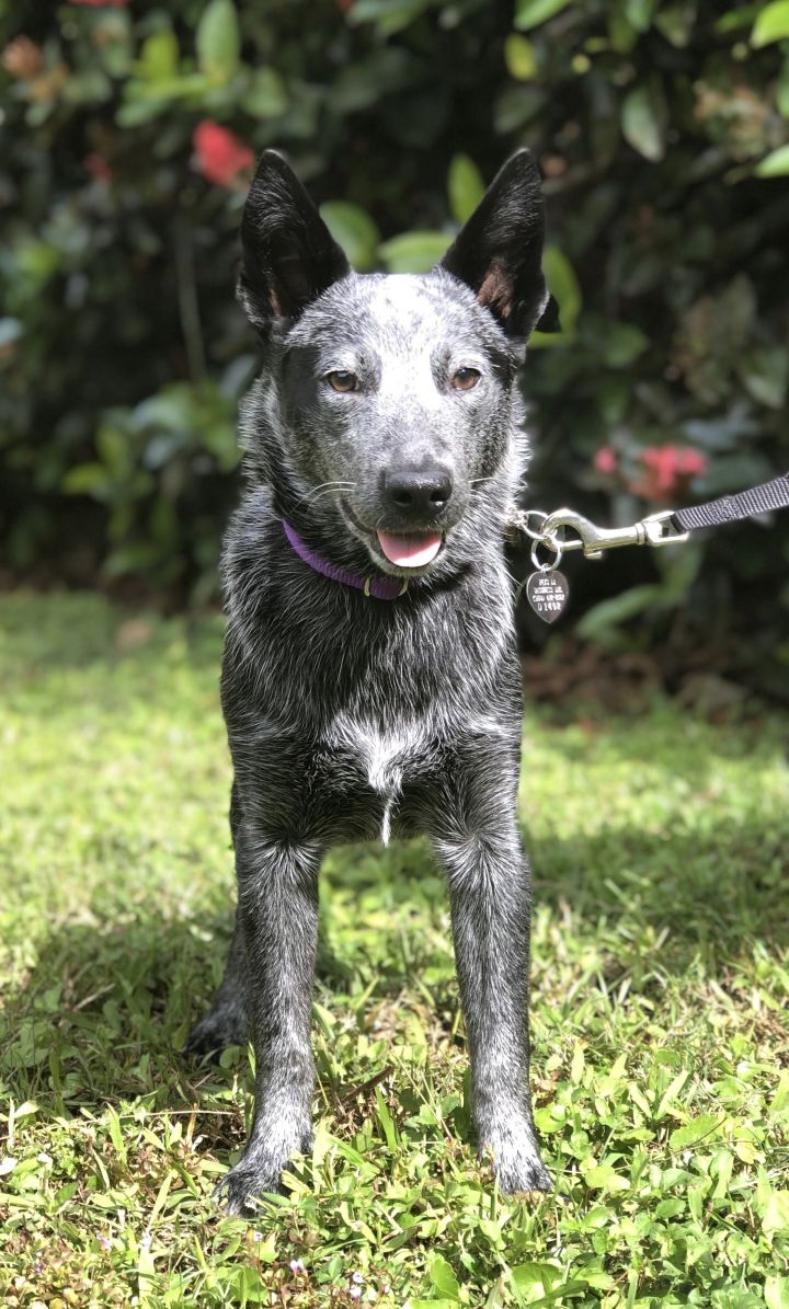 Roo, an adoptable Australian Cattle Dog / Blue Heeler in Davie, FL