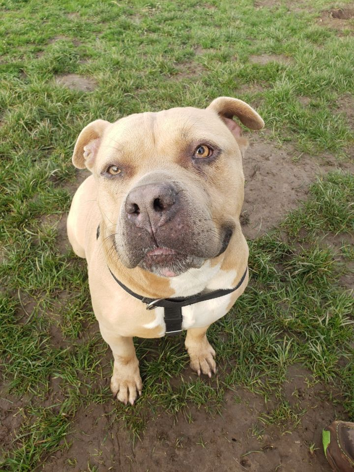 Chunky Monkey, an adoptable Pit Bull Terrier Mix in Longview, WA