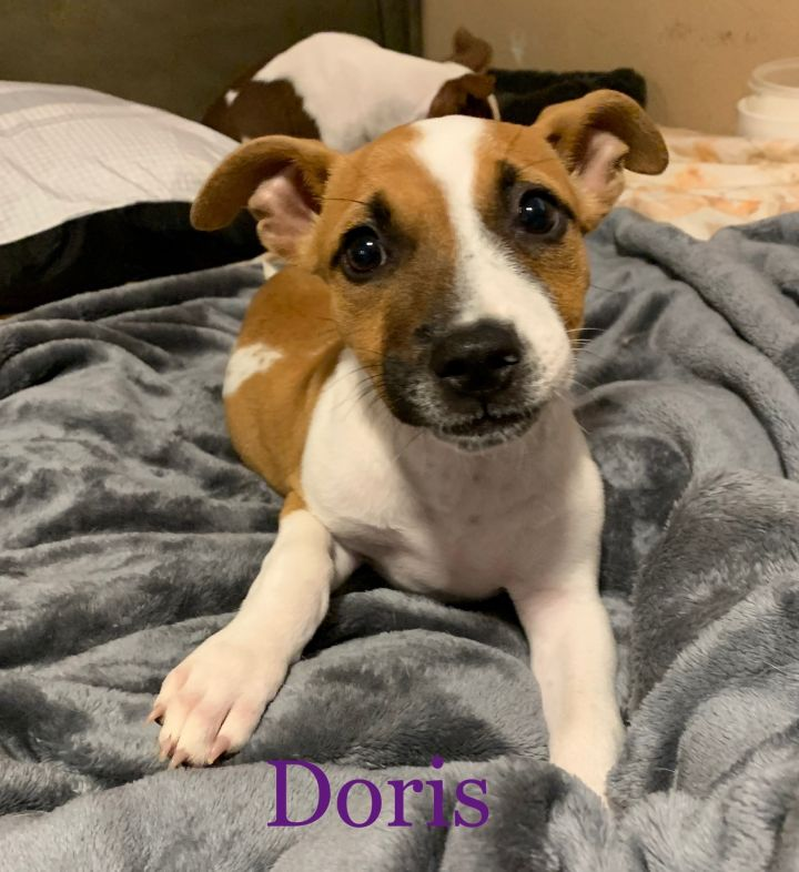 Doris, an adopted Terrier Mix in Brooklyn, NY