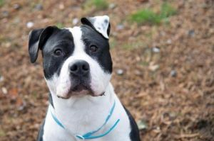 Meet Spartacus This handsome boy is very confident and loves to play with all toys and run around th