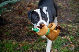 Spartacus American Staffordshire Terrier Dog