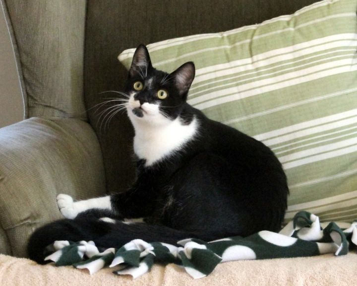 Bolo, an adopted Domestic Short Hair in Gaithersburg, MD