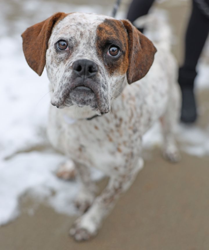 T-Bone, an adopted Boxer & Cattle Dog Mix in Naperville, IL