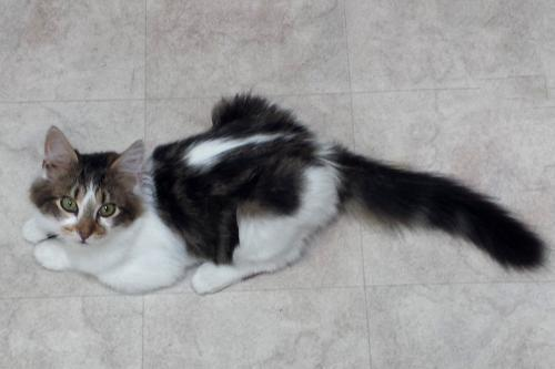 Pounce, an adoptable Tabby & Domestic Medium Hair Mix in Springfield, OR