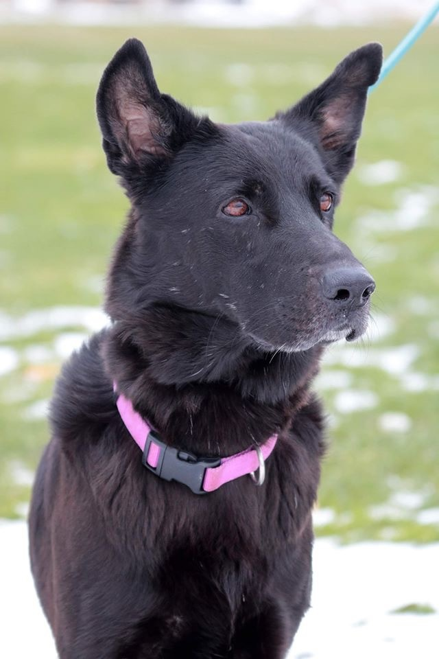 Schatzi, an adopted Shepherd Mix in Sparta, WI
