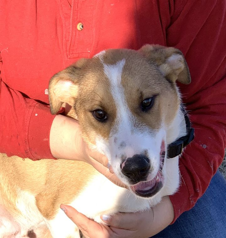 Walli, an adopted Border Collie & Foxhound Mix in Manchester, NH
