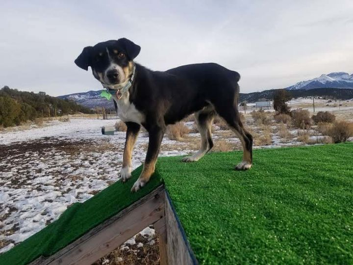 Fig, an adoptable Australian Shepherd Mix in Ridgway, CO