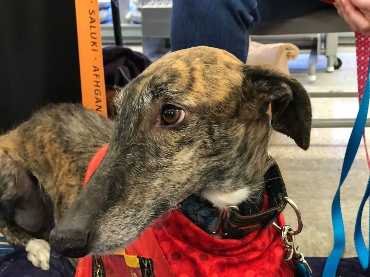 Cleo, an adoptable Galgo Spanish Greyhound in McLean, VA