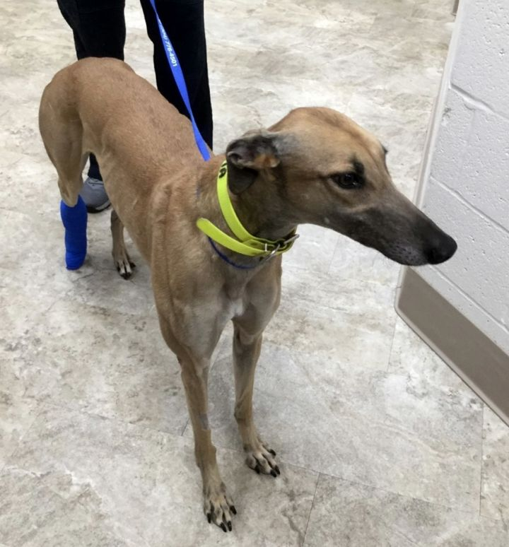 VENETIA, an adoptable Greyhound in Shamokin, PA