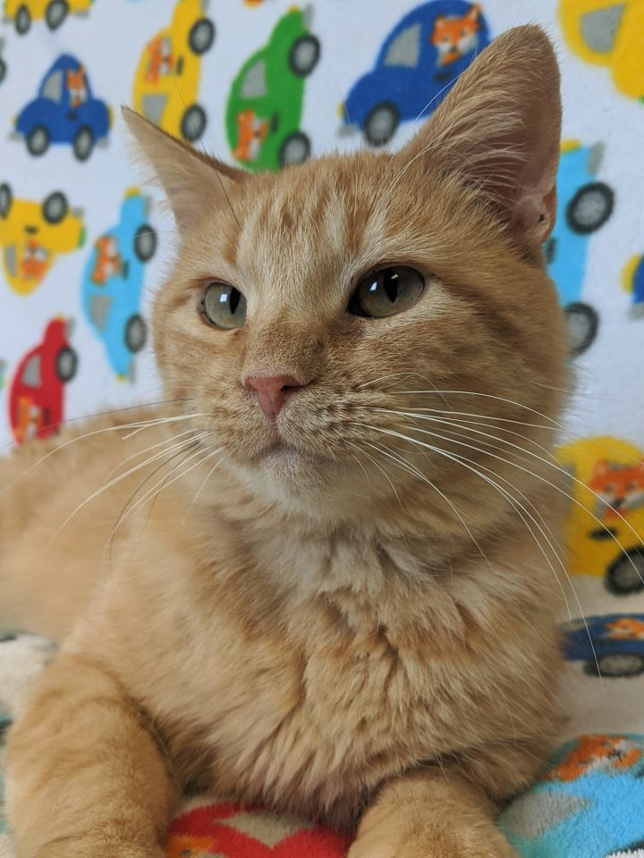 Gerard, an adopted Domestic Short Hair & Tiger Mix in Onalaska, WI