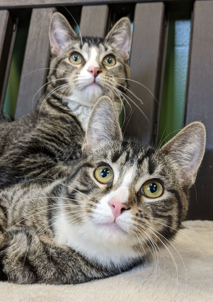 Ying and Yang, an adopted Domestic Short Hair & Tiger Mix in Onalaska, WI