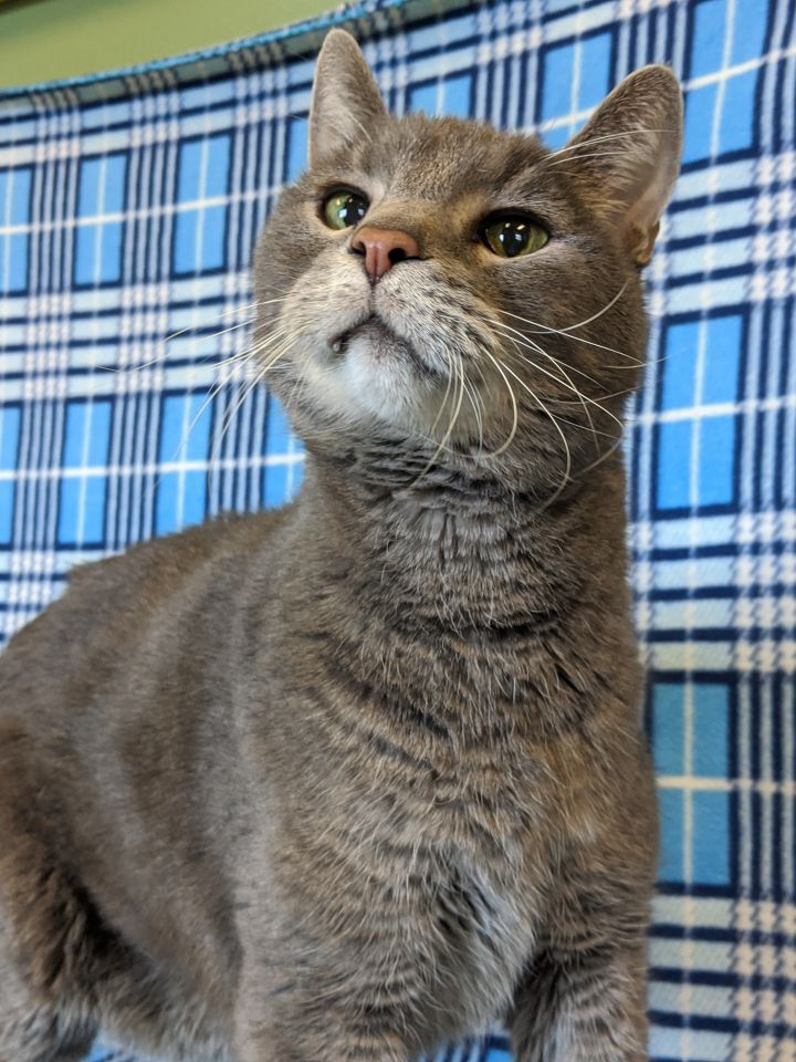 Jenkins, an adopted Domestic Short Hair & Tiger Mix in Onalaska, WI