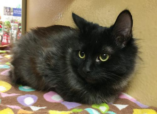 Shyley, an adoptable Domestic Medium Hair Mix in Springfield, OR