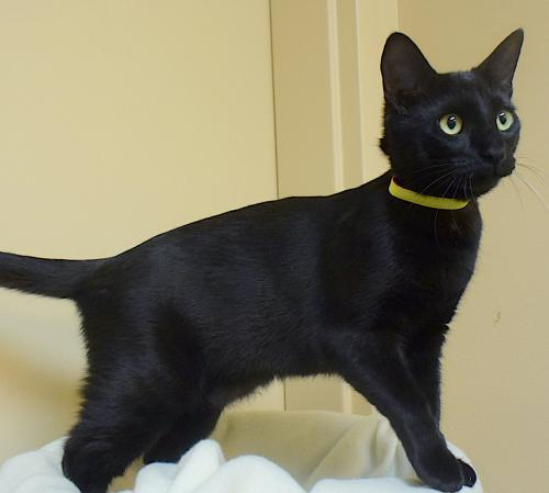 Joy, an adoptable Domestic Short Hair Mix in Springfield, OR