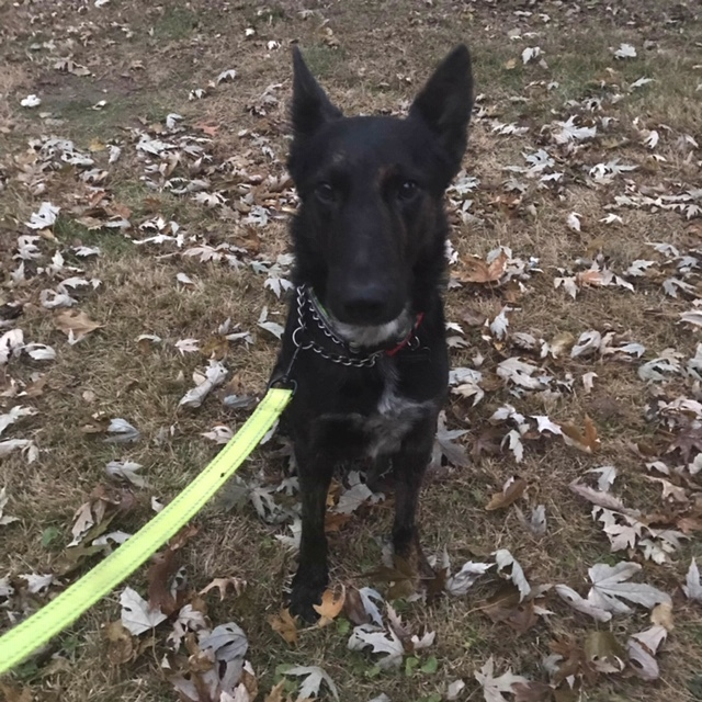 Jet, an adoptable German Shepherd Dog in Jefferson City, MO