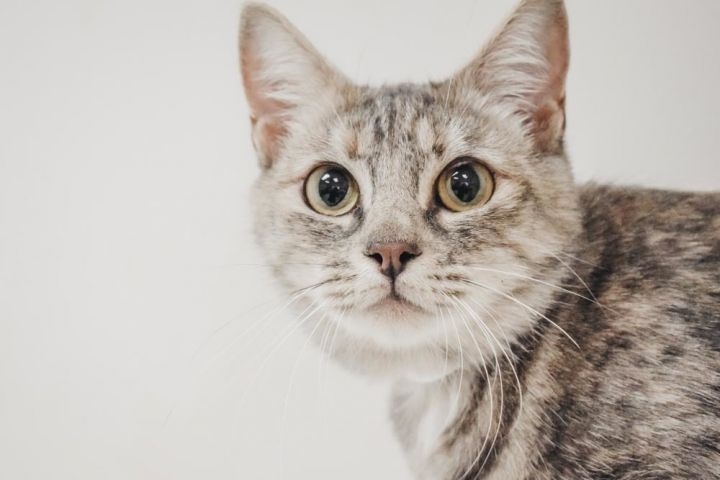 Dusty Rose, an adopted Domestic Short Hair Mix in Longview, WA