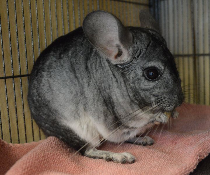 Minicco, an adopted Chinchilla in Onalaska, WI