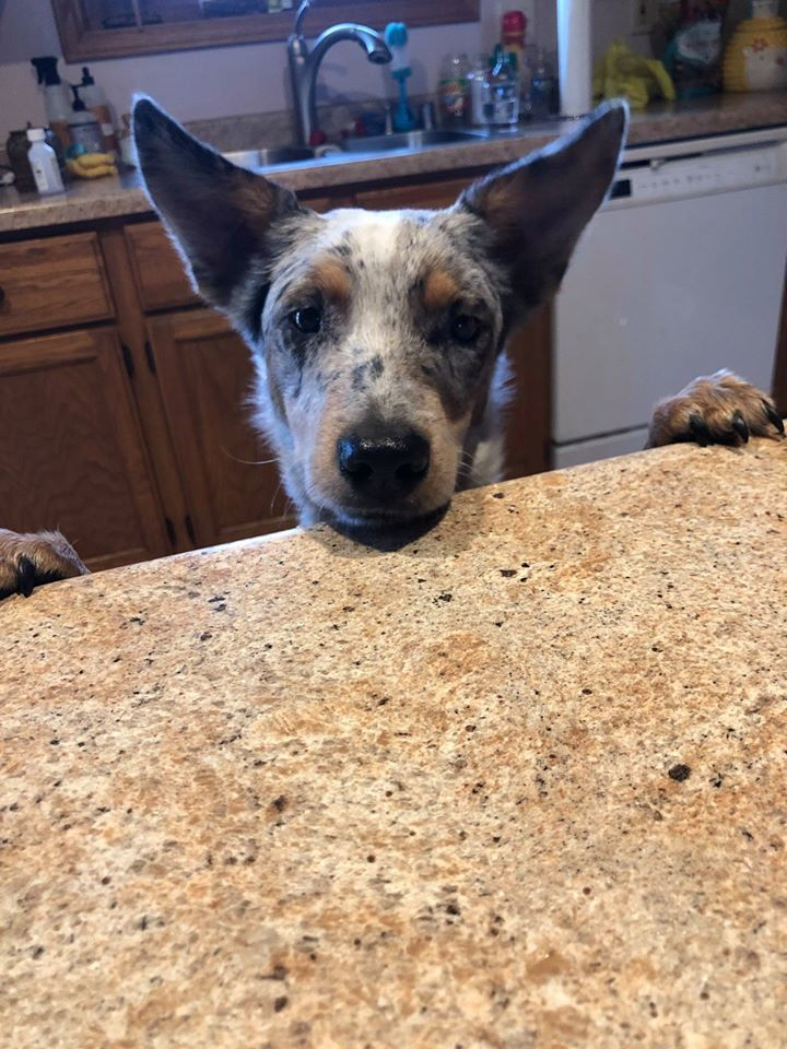 Hailey, an adopted Australian Shepherd Mix in Onalaska, WI