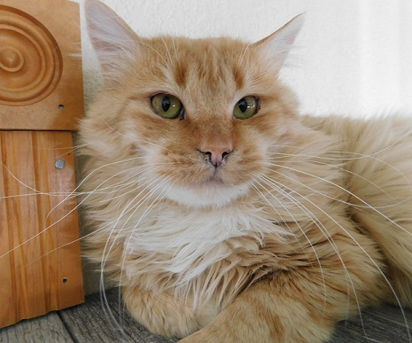Cyrus, an adopted Domestic Long Hair in Ridgway, CO