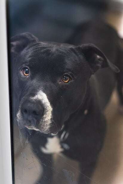 Titan, an adoptable Pit Bull Terrier in Bellingham, WA