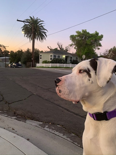 Thunder, an adopted Great Dane in San Diego, CA