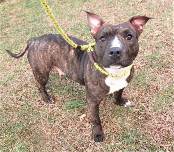 Cocoa Melon, an adopted Staffordshire Bull Terrier & Terrier Mix in Harrisburg, PA