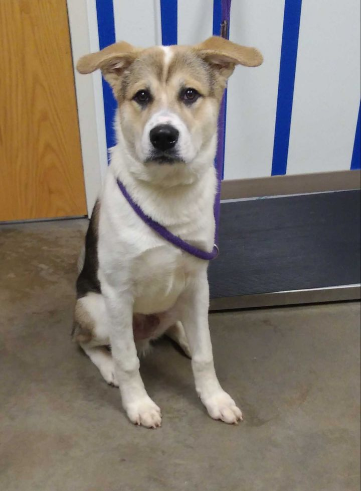 Clyde, an adopted Husky & Shepherd Mix in Ottawa, KS
