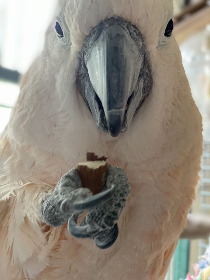 Coho, an adoptable Cockatoo in Jacksonville, FL