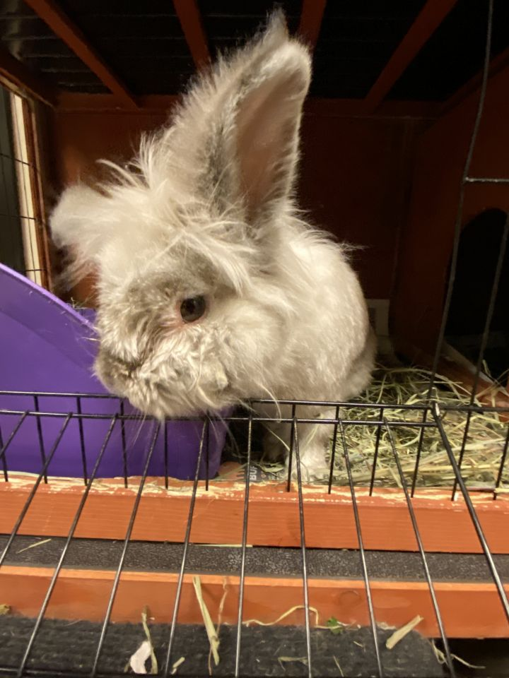 Bombon, an adoptable Angora Rabbit in Bellingham, WA