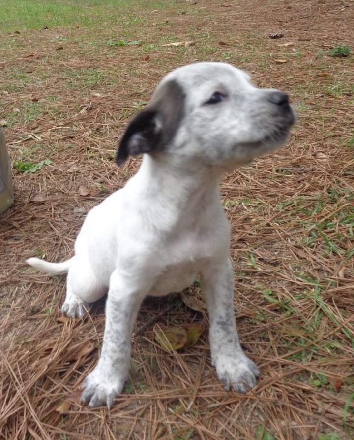 Pups 1-4, an adopted Australian Cattle Dog / Blue Heeler Mix in Cairo, GA