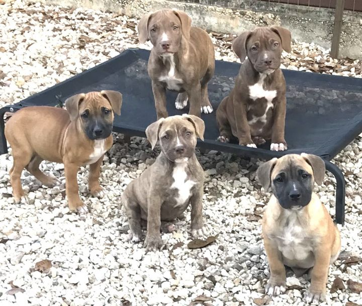 The B Pups, an adopted American Bulldog & Black Mouth Cur Mix in Cairo, GA