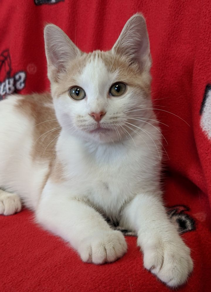 Simone, an adopted Domestic Short Hair & Tiger Mix in Onalaska, WI