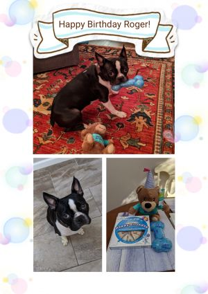 Roger is a handsome Boston Terrier who just turned 2 He is a high energy dog th