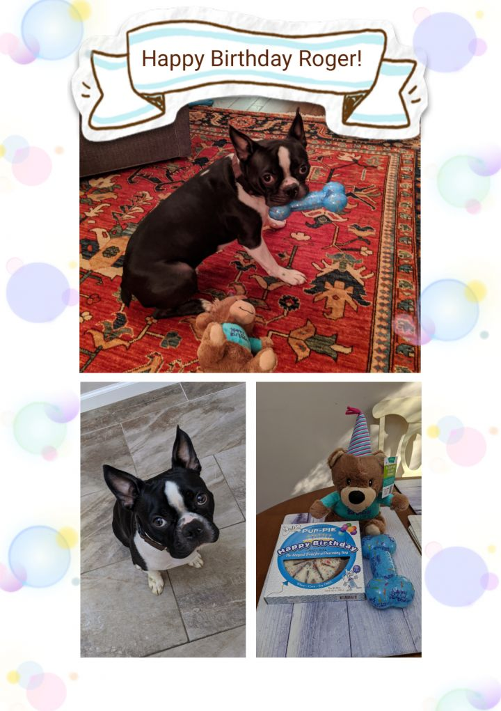 Boston Terrier Puppies For Sale In Ny Petfinder