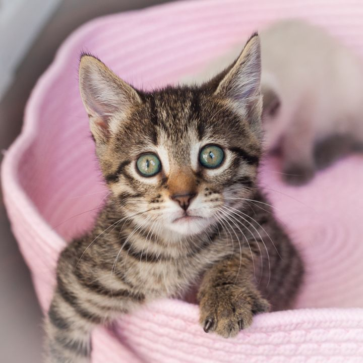 Tigre Lily, an adopted Domestic Short Hair & Tabby Mix in Ponte Vedra, FL