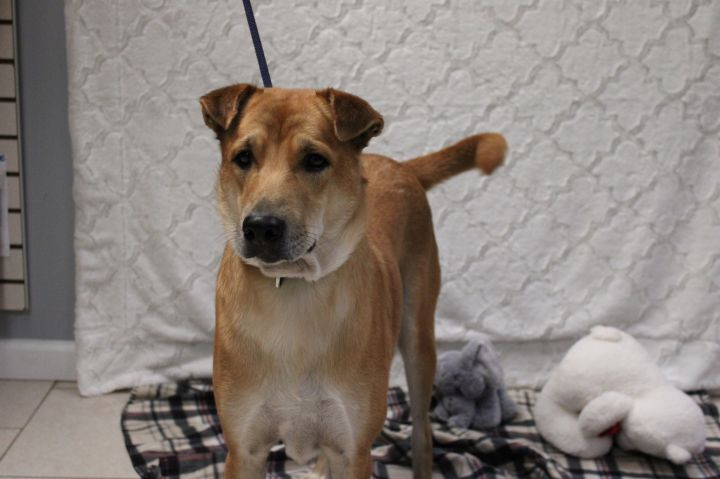 Dancer, an adopted Thai Ridgeback Mix in Medford, NY