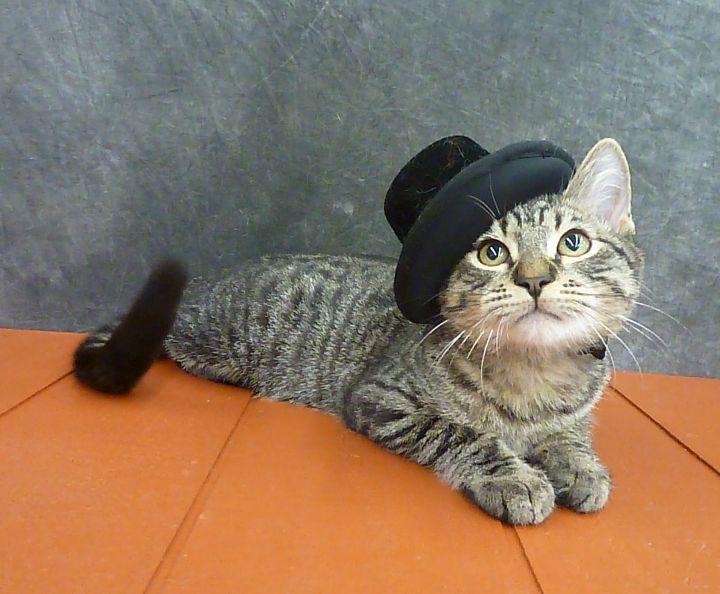 Lonesome Bob - Adorable Lovebug Kitten 1